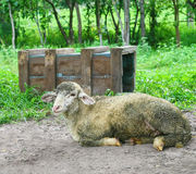 Lamb and wood box Royalty Free Stock Images