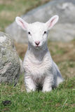 Lamb Young Baby in Grass Field Stock Image