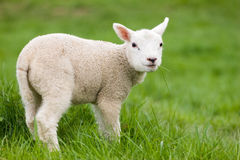 Lamb. Young lamb in the grass Stock Photo