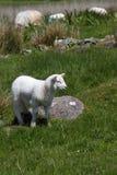 Lamb Royalty Free Stock Photo