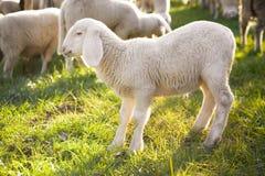 Lamb Stock Photography