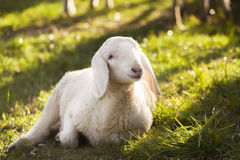Lamb. Young lamb on summer lights Stock Photos