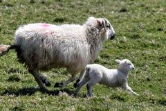 Lamben med fostrar Royaltyfri Bild