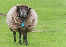 Lambendo carneiros Fotos de Stock Royalty Free