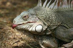 Lambendo a iguana Imagem de Stock