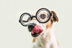 Lambendo o focinho engraçado do cão do lerdo em vidros redondos perto acima do retrato Professor esperto de volta ao animal de es Fotografia de Stock Royalty Free