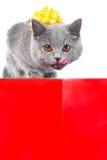Lambendo o gato azul britânico novo como o presente bonito Foto de Stock Royalty Free