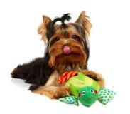 Lambendo yorkshire com um brinquedo de sorriso da râ Fotos de Stock Royalty Free