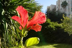 Lambent Bright red hibiscus flower in full bloom with its leaves at sunset. A worm& x27;s-eye view. Close up. Lambent radiant bright red hibiscus flower plant in stock photo