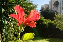 Lambent ljus röd hibiskusblomma med dess sidor på solnedgången En worm& x27; s-öga sikt close upp arkivfoto