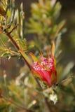 Lambertia formosa Stock Images