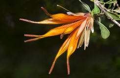 Lambertia inermis, a West Australian native  plant. Lambertia inermis, a West Australian native flora Stock Photography