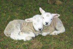 lambförälskelse royaltyfria foton