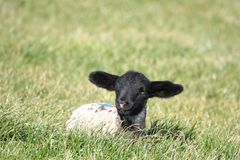 lambfjäder Arkivbilder