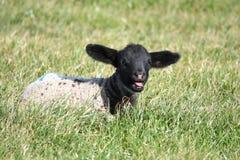 lambfjäder Royaltyfria Foton
