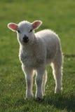 lambfjäder royaltyfri fotografi