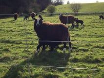 Lambing för vårtid arkivbild