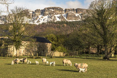 Lambing season. A field of ewes and lambs in a field shortly after lambing in late winter Stock Image