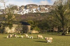 Lambing season Stock Image