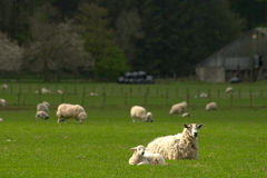 Lambing time Stock Images
