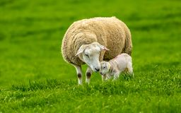 Lambing time.  Texel Ewe with her newborn lamb royalty free stock photography