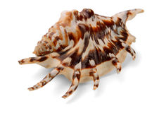 Free Lambis Lambis Seashell Royalty Free Stock Photo - 19916735