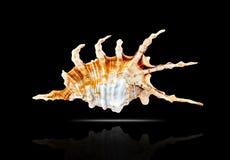Lambis scorpius. Lizenzfreie Stockfotografie