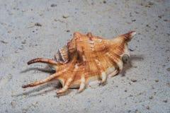 Lambis scorpius del marinaio delle conchiglie Immagine Stock