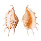 Lambis Seashells Stock Photography