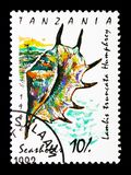 Lambis truncata gigante della conca del ragno, ser delle lumache di mare e delle cozze Fotografia Stock Libera da Diritti