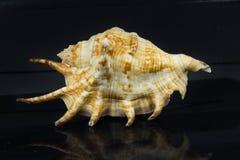 Lambischiragra Arkivbild