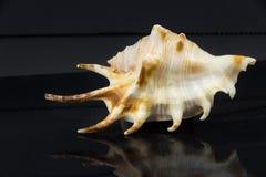 Lambischiragra Royaltyfri Bild