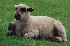 lambkin arkivbild