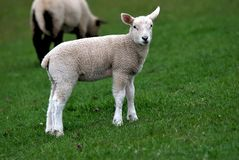 Lambkin Royalty Free Stock Image
