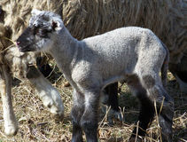 Lambkin neonato dell'animale domestico Fotografia Stock