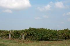 Lambrusco葡萄园,准备好一个典型的意大利的葡萄har 免版税库存图片