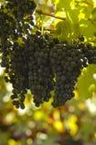 Lambrusco grapes stock photo