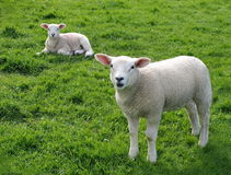 Lambs Royalty Free Stock Photo