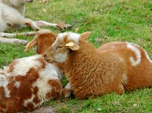 Lambs. Close up of two lambs Royalty Free Stock Image