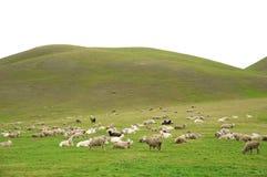 Free Lambs Stock Photography - 10311822