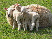Lambs. And their mother in a field stock photography