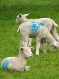 Lambs. Young lambs royalty free stock photography