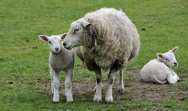 Lambs Royalty Free Stock Photos