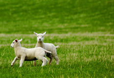 Lambs. Two spring lambs at play in a field Stock Image