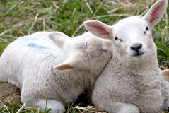 Lambs. Two colour-marked cuddling lambs on a meadow, one of them sleeping Stock Image