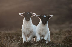 Lambs Royalty Free Stock Images
