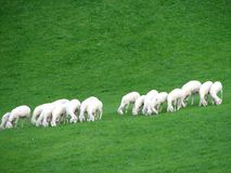 Lambs. In springtime in the field Stock Image
