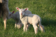 Lambs Stock Photos