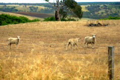 Australian sheep Royalty Free Stock Photos