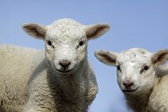 Lambs stock photo